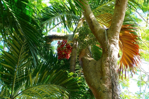 Fruitful palm tree
