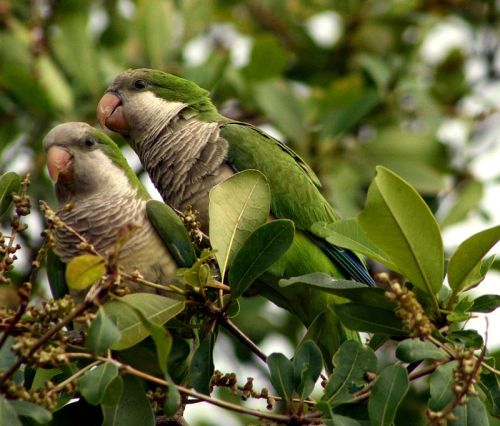 Monk parakeets in FL from Wiki