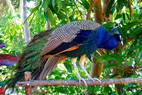 Peacock preening