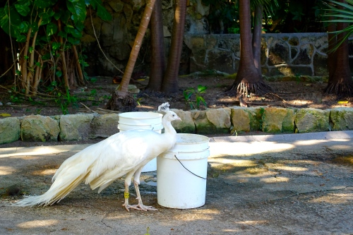 White peacock drinking from bucket
