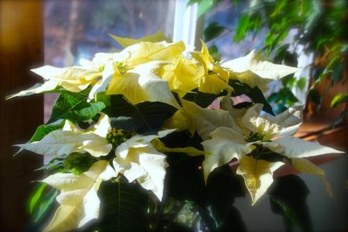 White Poinsetta