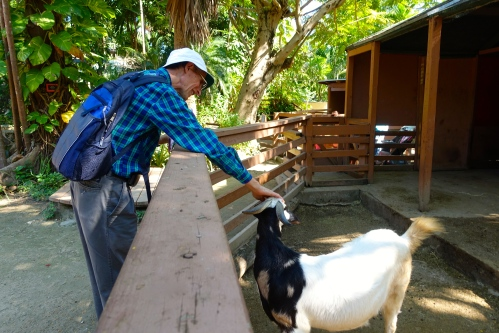 Wolle petting Goat