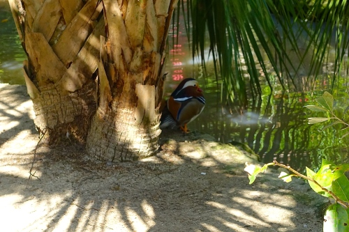 Wood duck under palm tree