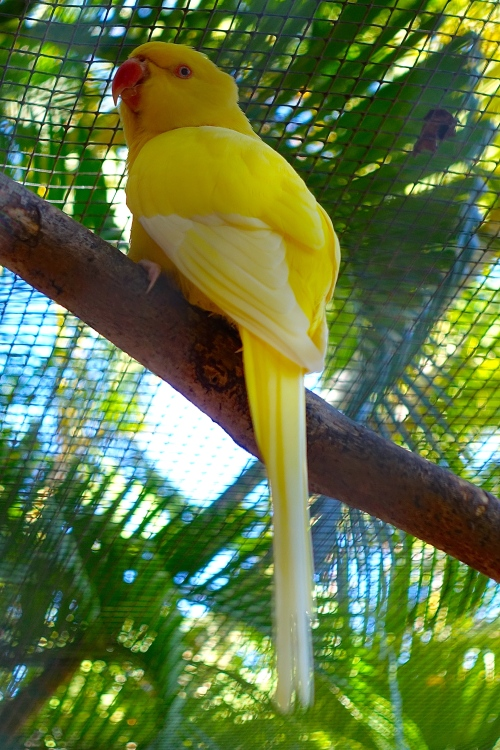 Yellow Parrot+3 11.14.14