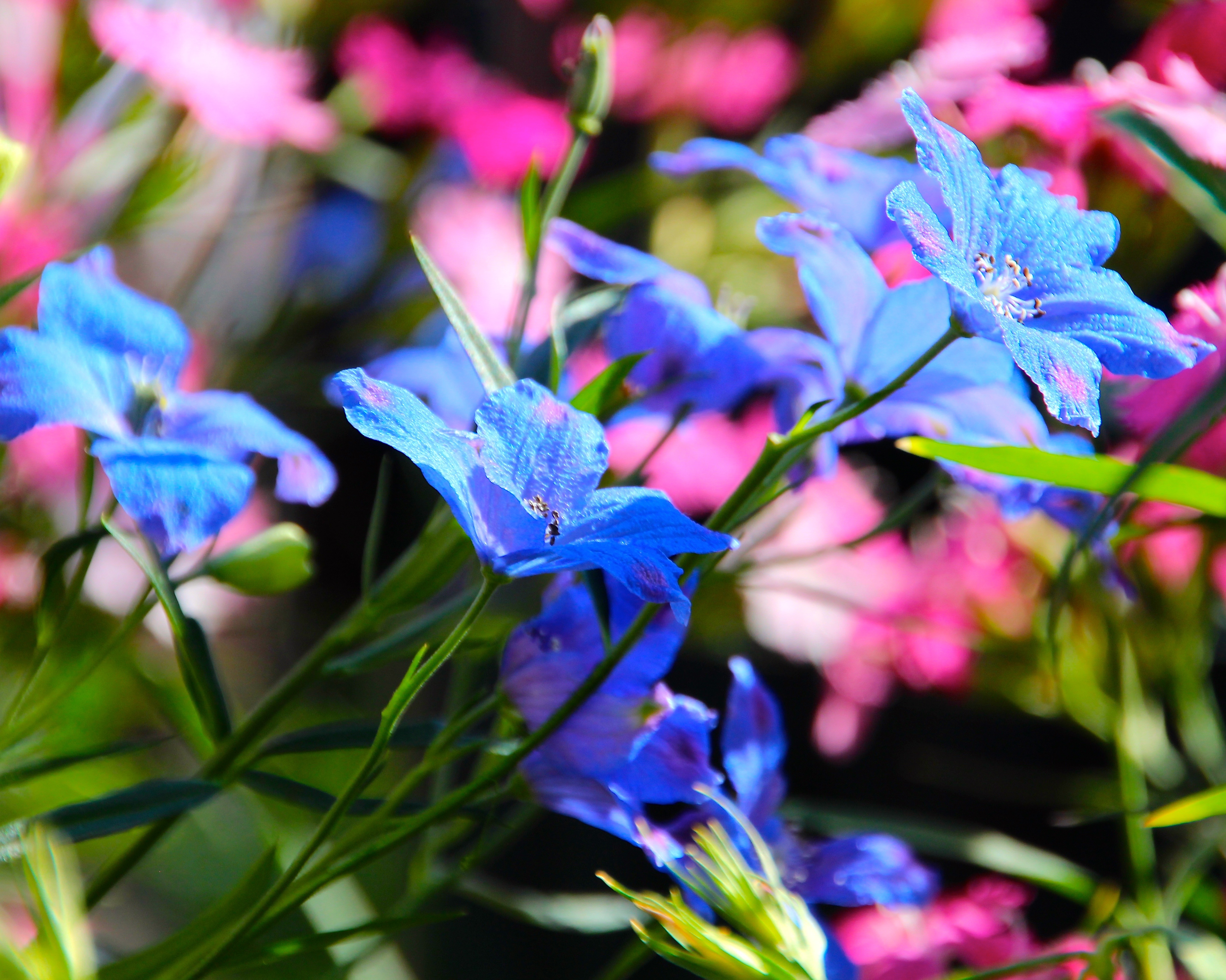 Blue and Pink Flowers at Disney 1.6.15