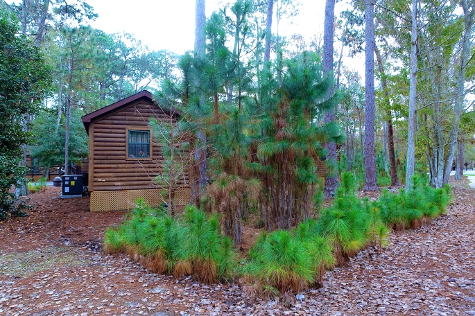 Cluster of Pines in Fort Wilderness