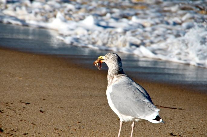 Sea Gull+Crab. Cape Cod