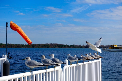 Sea gulls at Bay Lake copy