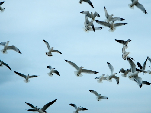 Sea gulls circling in air