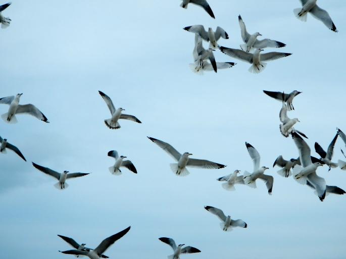 Sea gulls circling in air