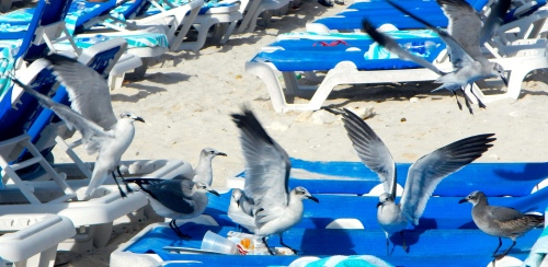 Sea gulls fighting over breakfast