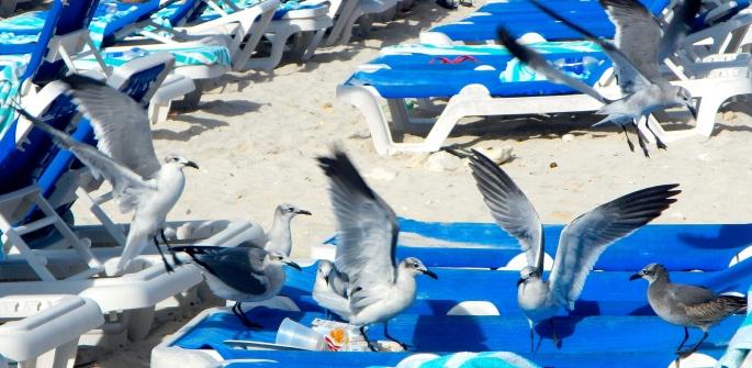 Sea gulls fighting over breakfast