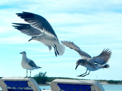Sea gulls in landing