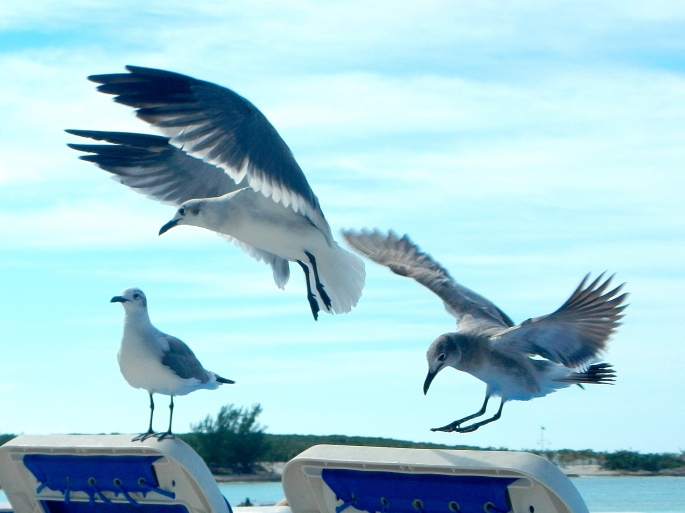 Sea gulls in landing