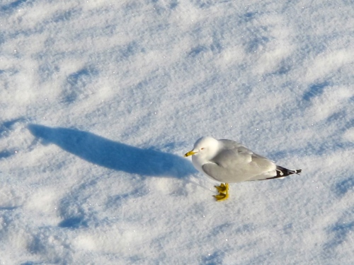 Seagull in snow