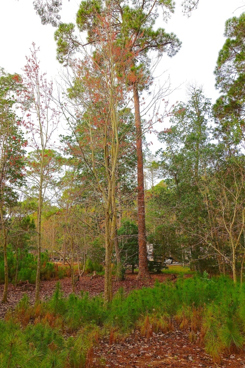Tall Pines in Florida