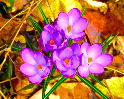 Autumn Crocuses