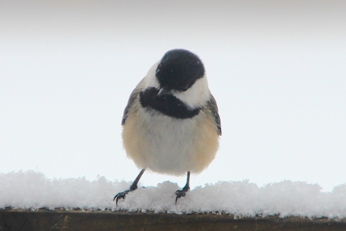 Black-capped Chickadee 3.19.13