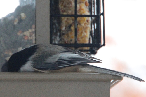 Chickadee Feeding