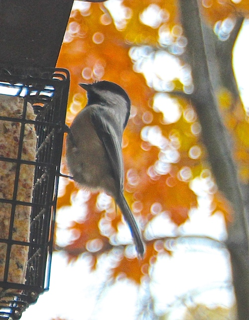 Chickadee in rain 11.6.13