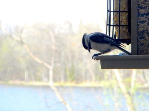 Chickadee in Spring 5.9.14