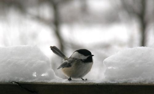 Chickadee.Snow. 2.21.11