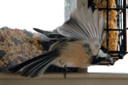 Chickadee Wing
