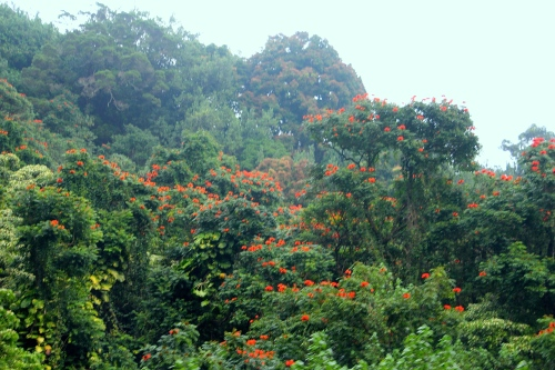Hawaiian Royal Poinciana flowering trees