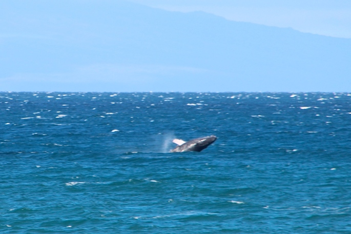 Humpback Whale cavorting. Maui