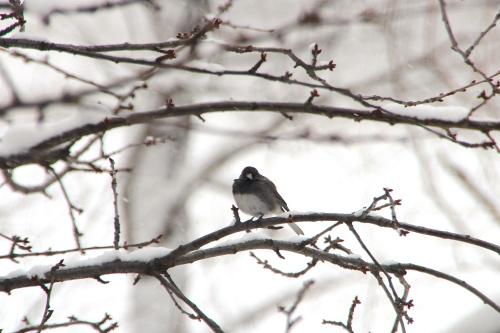 Junco on Snowy Tree Branch 3.19.13