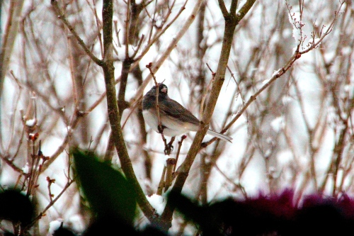 Junco with violets 3.19.13