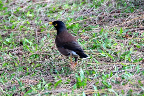 Myna Bird in grass