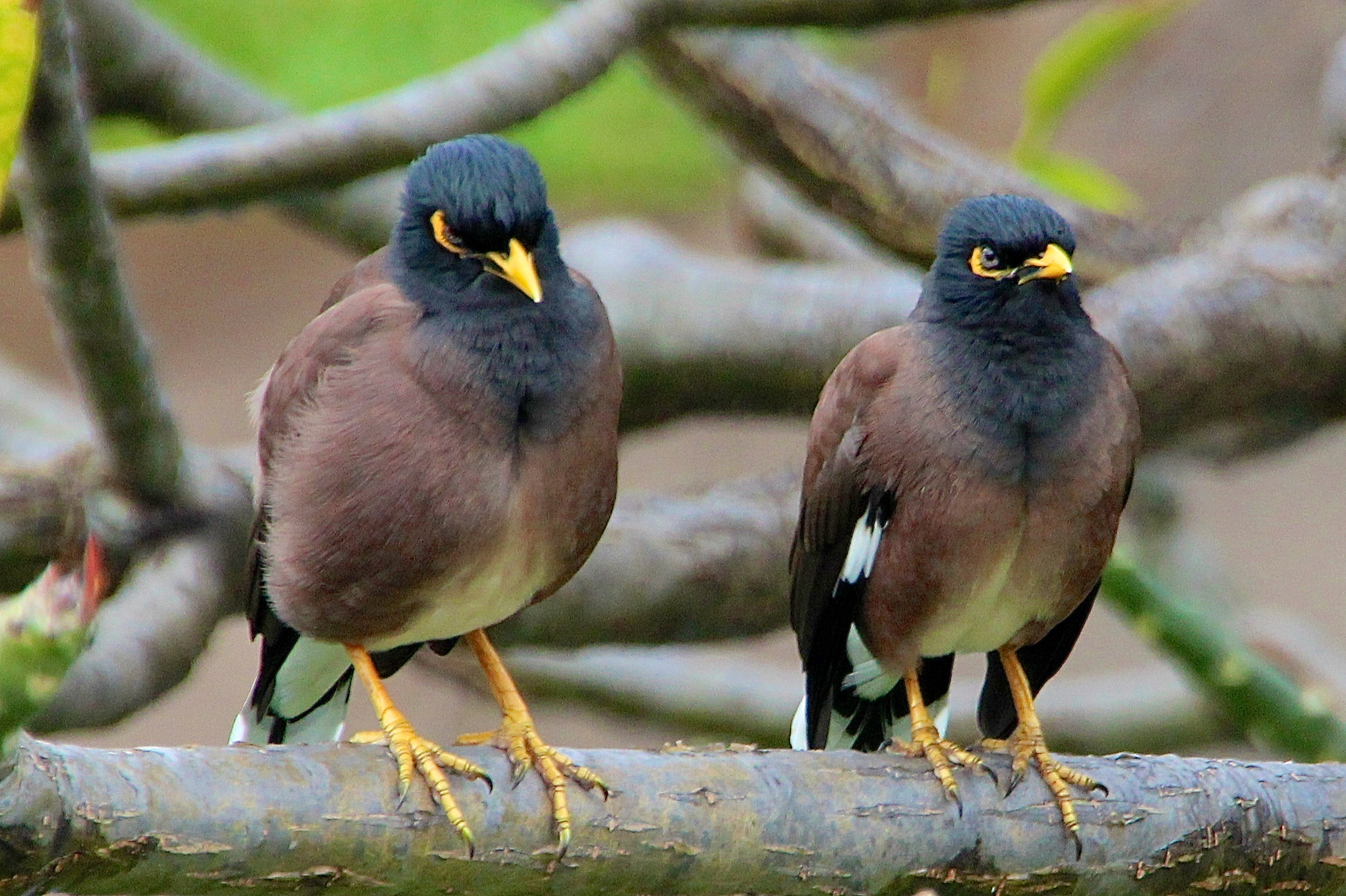 A Few of Hawaii's Favorite Birds (26): Mimicking Maui's ... - photo#19