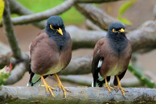 Myna Bird Pair