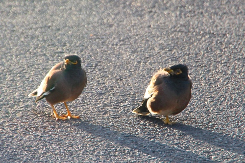 Myna bird parenting young