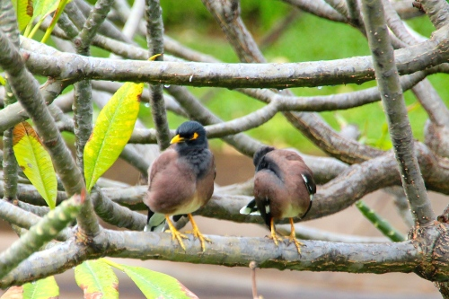 Myna Birds in Tree