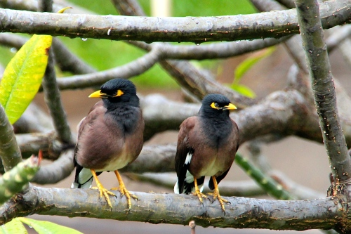 A Few of Hawaii's Favorite Birds (26): Mimicking Maui's ... - photo#26