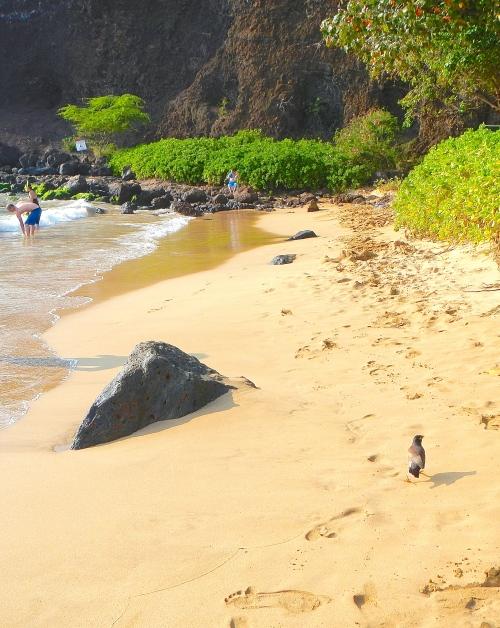 Myna strolling beach