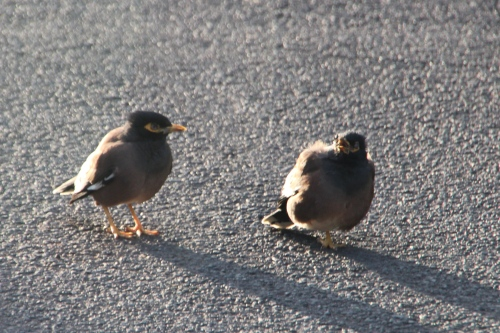 Myna teaching chick