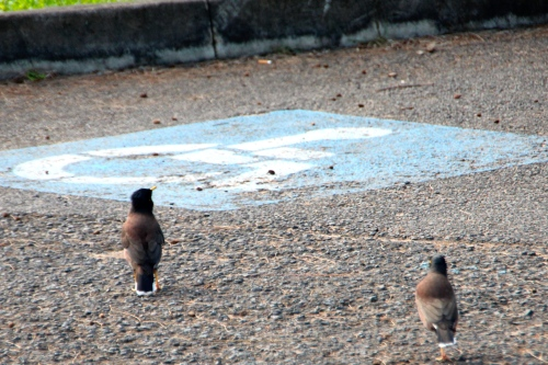 Mynas checking out the parking spots