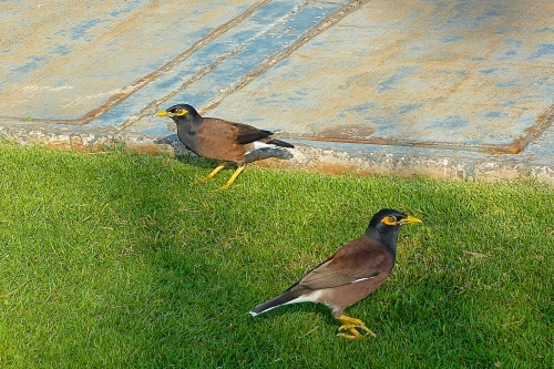 Mynas looking for a parking spot