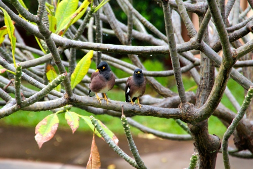 Pair of myna birds in tree