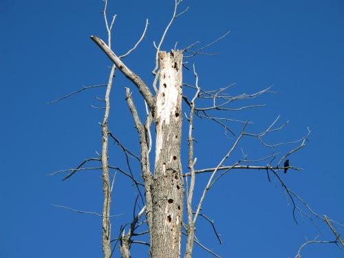 Woodpecked snag