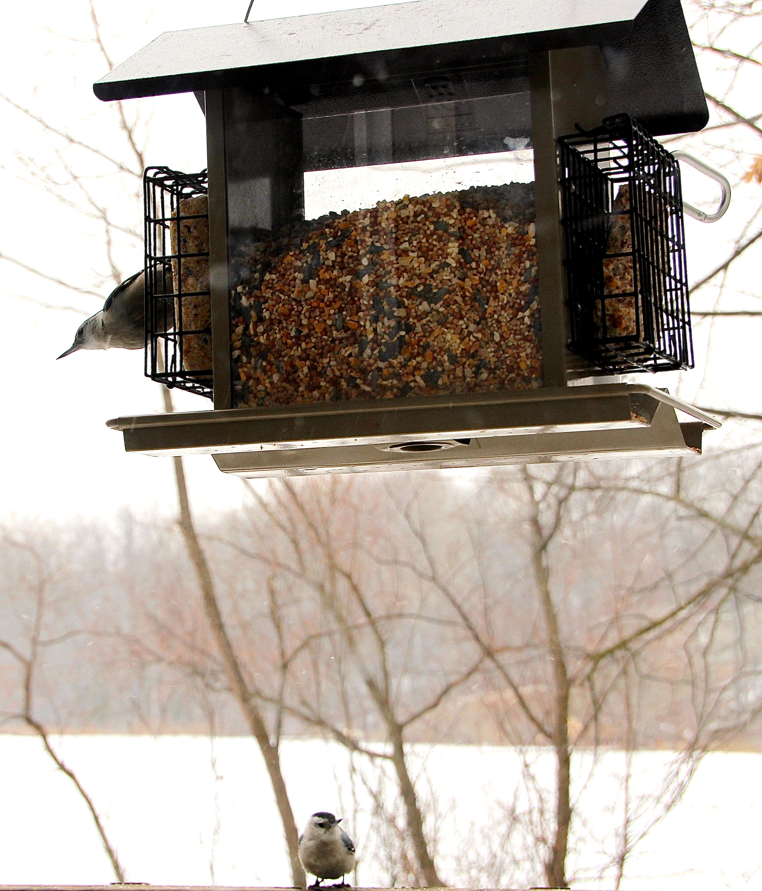 2 Nuthatches at Feeder 3.18.13