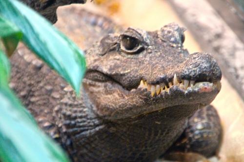 Alligator at San Diego Zoo