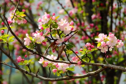Apple Blossoms 4.8.15