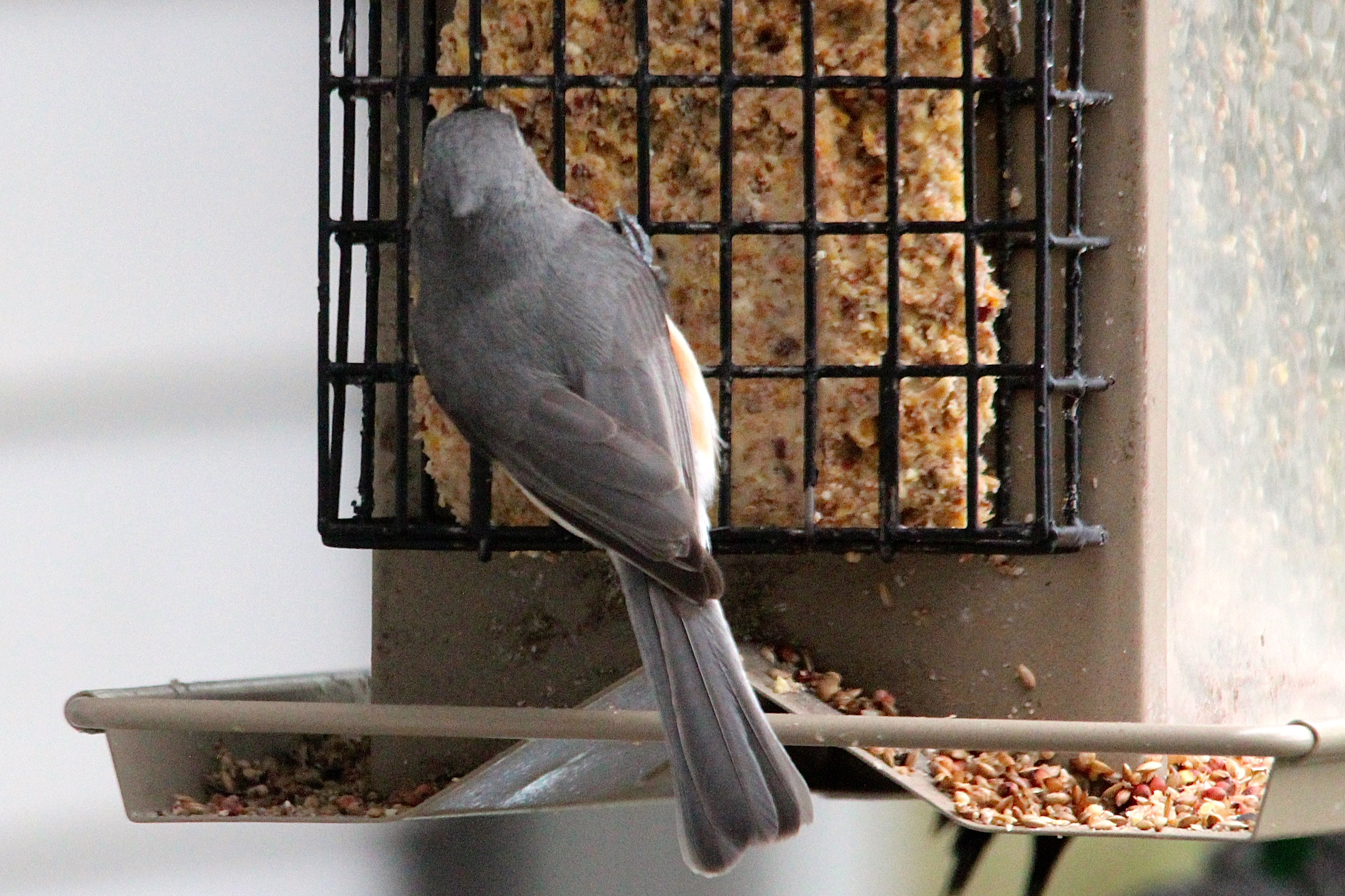 Back of tufted titmouse