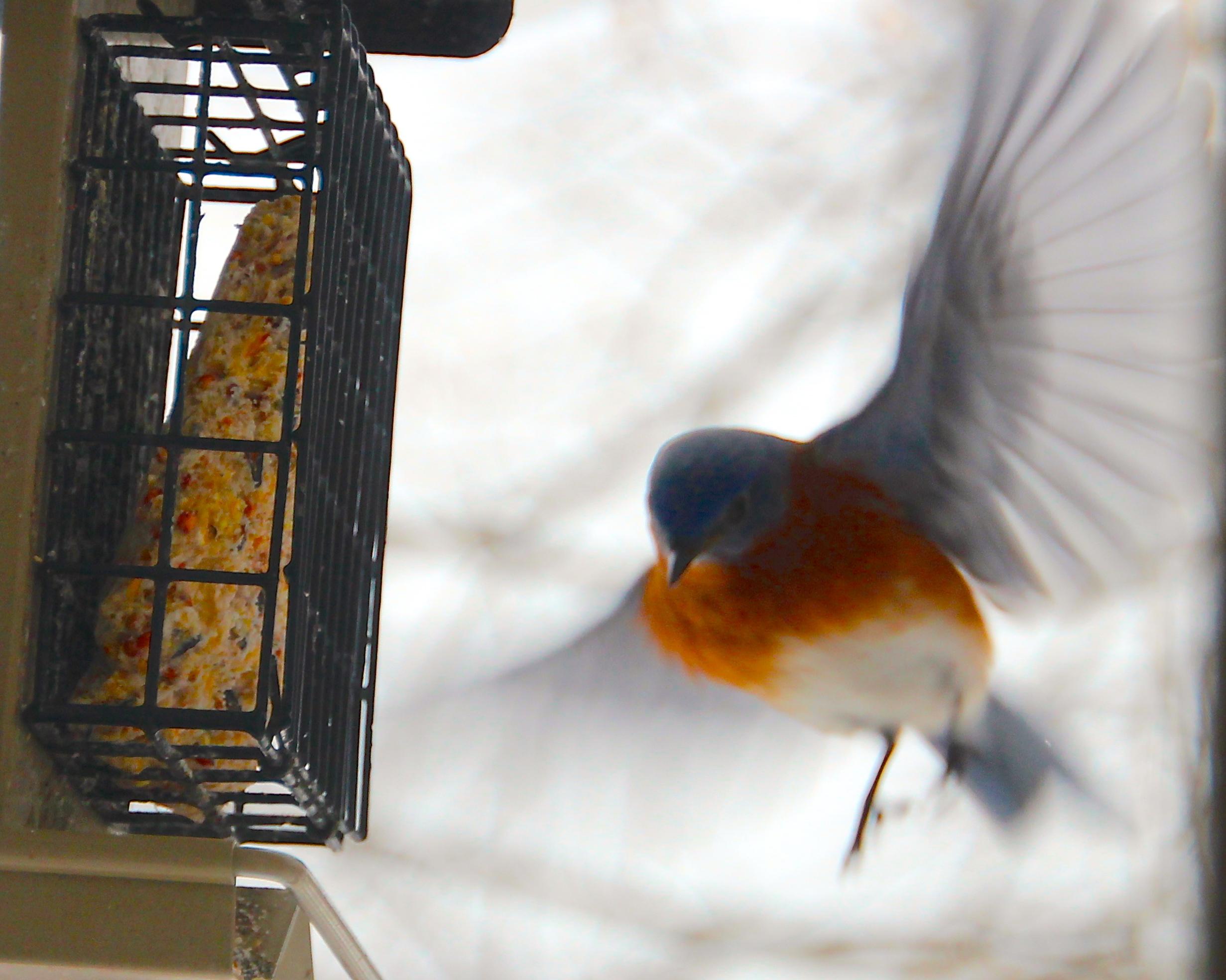 Blluebird fluttering by feeder