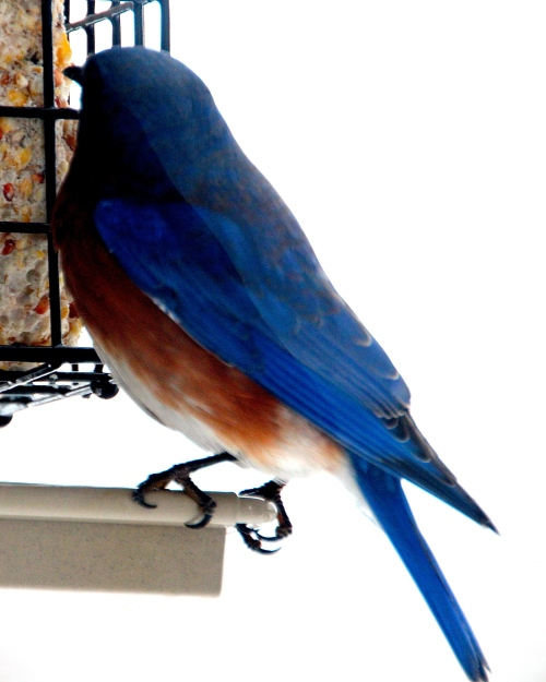 Bluebird at feeder