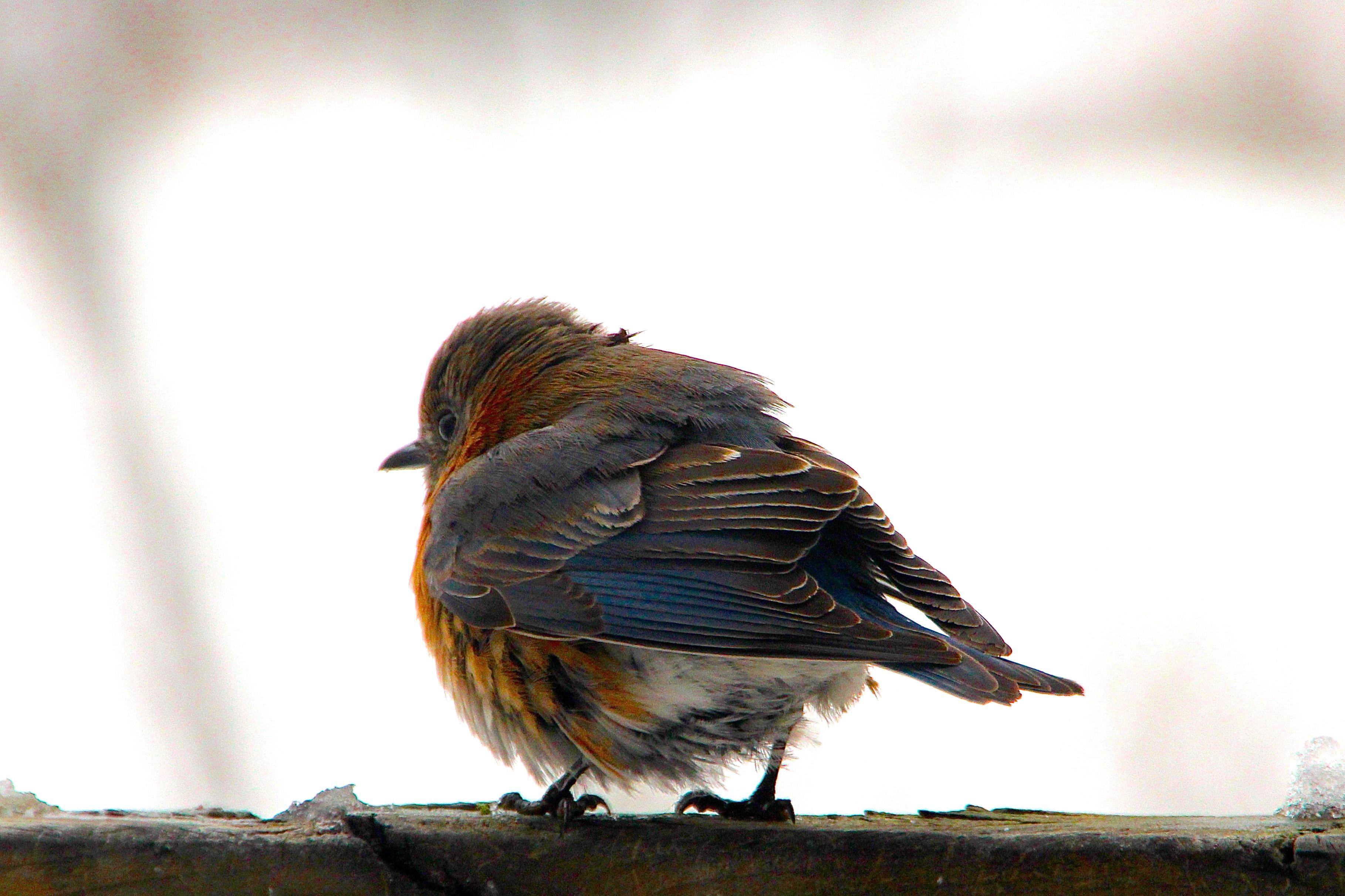 Bluebird fluffed to keep warm. 2